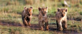 Cuccioli leone. Masai Mara