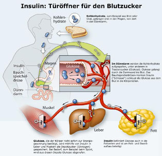 https://www.diabetes-ratgeber.net/Insulin/So-wirkt-Insulin-54136_2.html