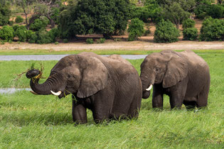 Elephants, Chobe River National park