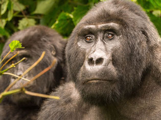 Mountain gorillas in Bwindi Impenetrable National park