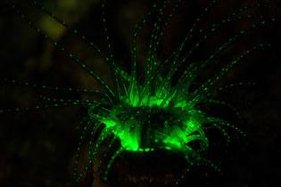 Fluorescent anemone
