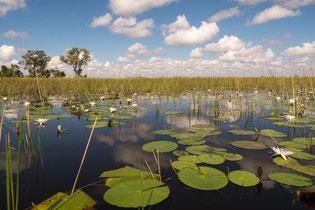 Sea roses, Okavango delta