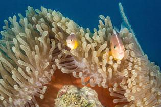 Clownfishes in anemone, Zanzibar