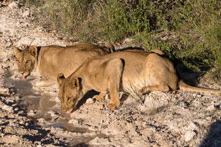 Drinking Lions, Etosha