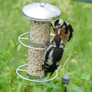 Ein Buntspecht füttert einen Jungvogel direkt am Futterspender