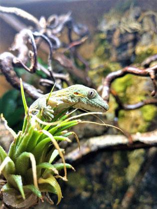 Eurydactylodes agricolae