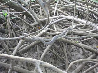 Mangrove viper. Yikes.