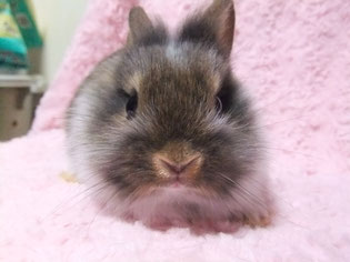 ネザーライオン バニラ 子ウサギ