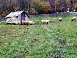 Schafe am Biotop Rauschenberg Foto© NABU Martin Neugebauer