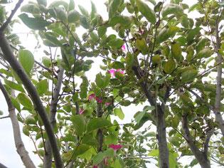 朝顔が柿の木を駆け上り、咲き始めました!