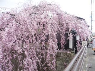 舟丁にある駄菓子の石橋屋前の枝垂れ桜が今、満開です。