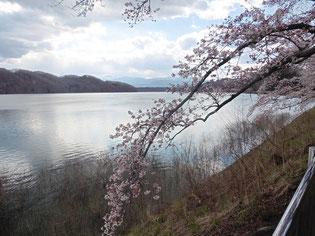 釜房ダムの桜です!