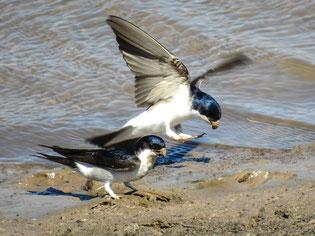 Hier sollen sich unter Anderem Mehlschwalben einfinden. - Foto: Kathy Büscher