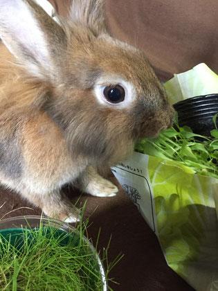 鉢植えから直接ベビーリーフを食べるウサギ
