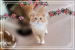 子猫の格安販売!猫の部屋セイワ。可愛いマンチカンの子猫です。