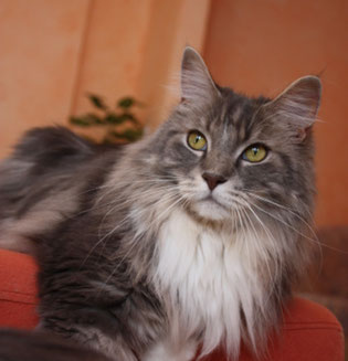 Maine Coon Kastrat Beethoven