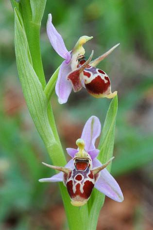 Ophrys oestrifera s.l.