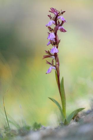 Hügel-Knabenkraut (Orchis collina)