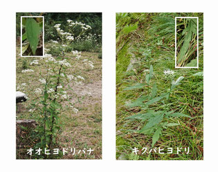 写真3.オオヒヨドリバナとキクバヒヨドリ (注2)