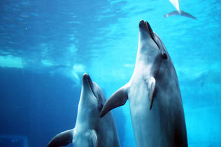 写真 「非常に高い知性を持つことが分かっているイルカ」