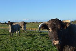 Vaches de race bazadaise nées et élevées sur les marais d'Oléron par le GAEC GUINOT