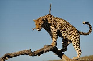 fiche animaux leopard contre jaguar