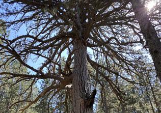 Pades - urtümliche Bäume