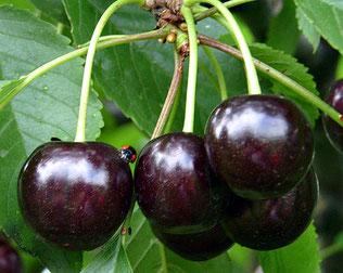районированные саженцы вишни в клину