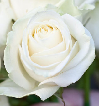 саженцы роз в питомнике Клин