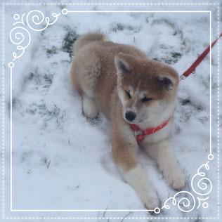 Japan Akita, Umeko of Kishi Ken, Welpe, Puppy, Zucht, Hund, Hundezucht, Hakucho no Yama, Unterfranken