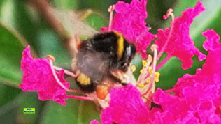 Naufnahme einer leuchtend pink-violetten Blüte einer Kreppmyrte/Kräuselmyrte mitsamt Hummelkönigin beim Futtern von K.D. Michaelis