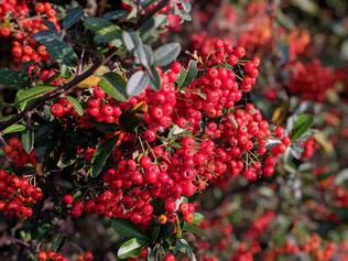 公園にたくさんの赤い実