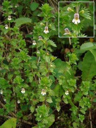 タチコゴメグサ (立小米草) ハマウツボ科