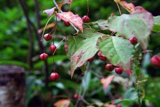 ヒロハツリバナ(広葉吊花)の果実
