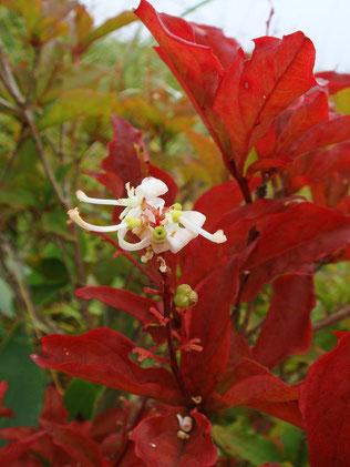 ホツツジ こんなに鮮やかに紅葉します