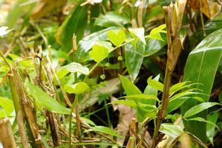 タケシマラン (竹縞蘭)