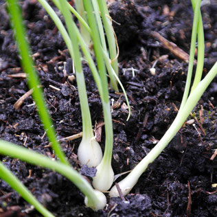 ui kweken, lente ui zaaien, ui binnen, huisplant, eetbaar, indoor moestuin