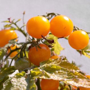 tomaat kweken, tomaat zaaien, tomaat binnen, huisplant, eetbaar, indoor moestuin