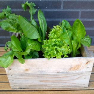 sla kweken, sla zaaien, sla binnen, huisplant, eetbaar, indoor moestuin