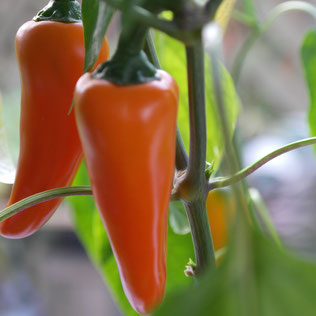 paprika kweken, paprika zaaien, paprika binnen, huisplant, eetbaar, indoor moestuin