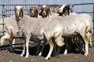 Pecore dalla coda grassa del Lago Nyanza - Nyanza Fat-tail
