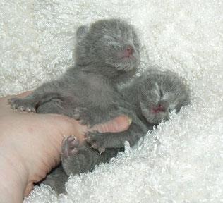 Русская голубая, котята, купить котенка, породистые котята, кот