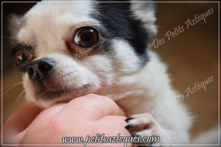 Chihuahua hypertypé, problème de santé