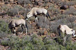 Karoo National Park Oryx Antilopen