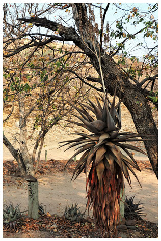 Aloe littoralis de Namibie
