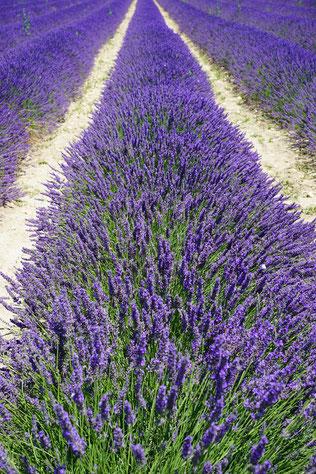 Lavendelfeld - reine Natur - Lavendel ist der grundstoff für ätheirhsce Öle, die beruhigend und stresssenkend wirken. Foto von Hans Braxmann - auf Pixabay