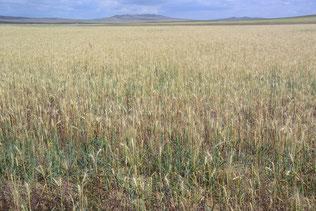 ウランバートル西近郊の小麦畑。夏、雨が少なかったため実がついていない
