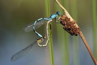 Paarungsrad – oben das blaue Männchen, das grün-braune Weibchen ist heterochrom, also anders als das Männchen gefärbt