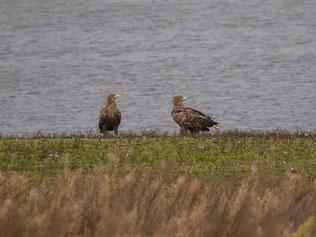 Für die Seeadler bedeutet dies jedoch ein hohes Tötungsrisiko. - Foto: Kathy Büscher