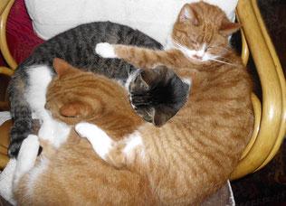 Meine drei Katzen halten mich für einen begabten Dosenöffner